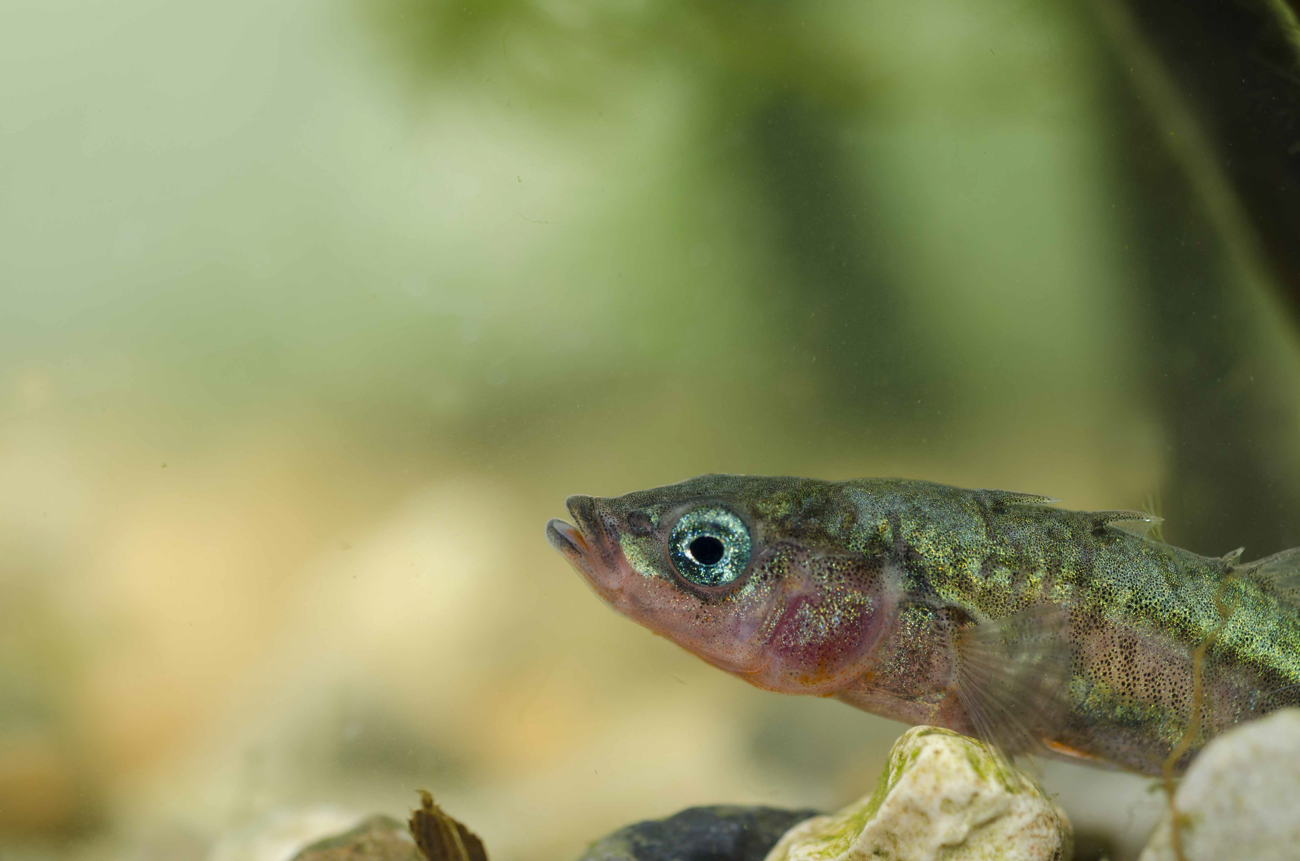 Stickleback2
